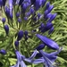 Agapanthus stage 3.  by johnfalconer