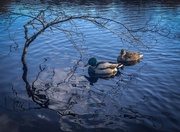 7th Nov 2020 - Ducks and reflections