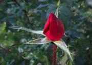 7th Nov 2020 - Rose bud