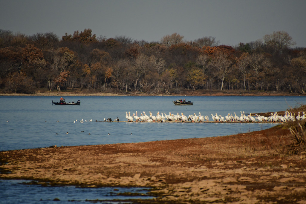 Fishing with the Pelicans by kareenking