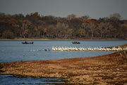 5th Nov 2020 - Fishing with the Pelicans