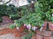 7th Nov 2020 - Fuchsias over the garden wall.