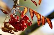 7th Nov 2020 - Leaves & Berries
