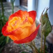 7th Nov 2020 - Fiery Rose