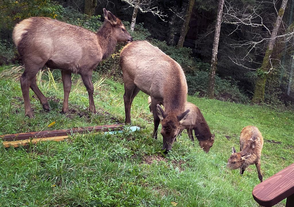 Elk Calf  by jgpittenger
