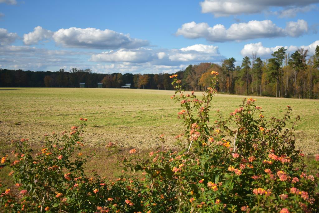 Lantana Flowers and Farm Field by homeschoolmom