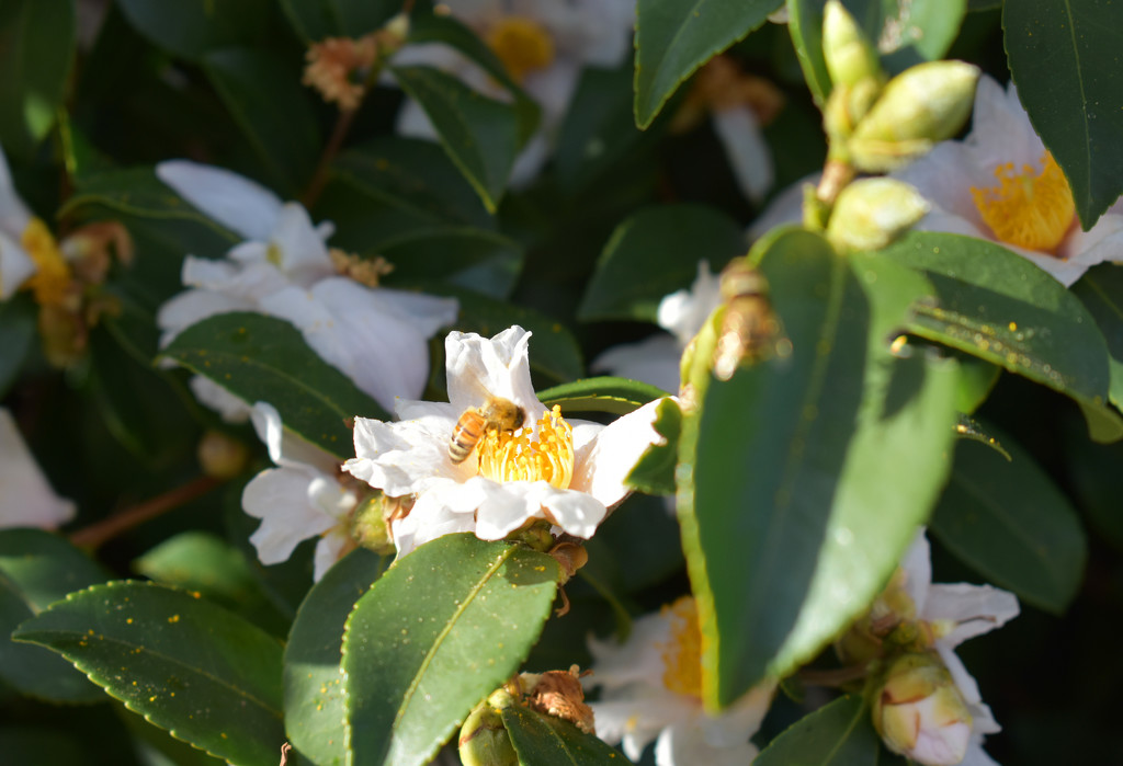 Camellia honey factory and worker bees by homeschoolmom