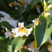 Camellia honey factory and worker bees