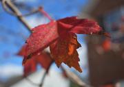 6th Nov 2020 - Red Leaf
