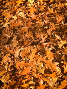 7th Nov 2020 - Carpet of leaves