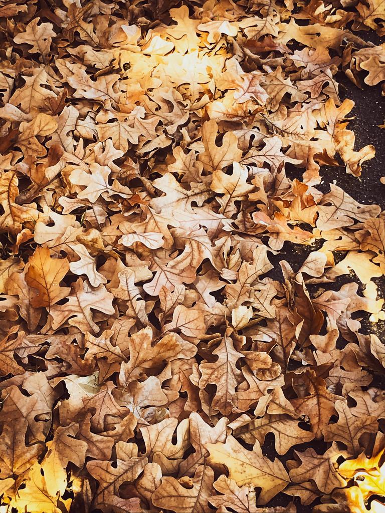 Oak leaves  by samae