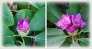 8th Nov 2020 - rhododendrons