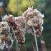 Cattail autumn bokeh