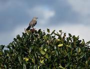 6th Nov 2020 - Mockingbird on a bush