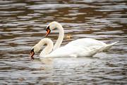 7th Nov 2020 - More Swans
