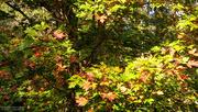 8th Nov 2020 - Painted Maple...