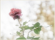 5th Nov 2020 - The End of the Rose