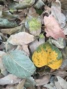 7th Nov 2020 - Leaves