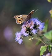 1st Nov 2020 - Buckeye butterfly on a purple flower