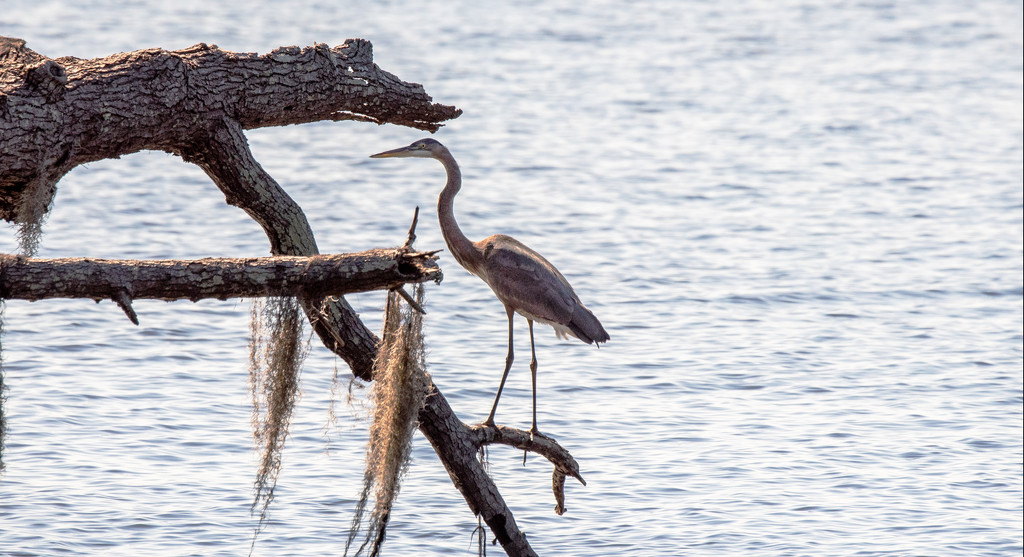Blue Heron Looking Over the Waters! by rickster549
