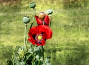 8th Nov 2020 - Poppies and textures