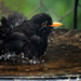 Blackbird bath time by maureenpp
