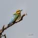 Rainbow Bee Eater by glendamg