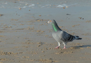 8th Nov 2020 - Pigeon