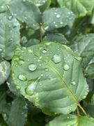 3rd Nov 2020 - Rain drops