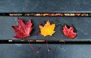 5th Nov 2020 - Wet autumn leaves