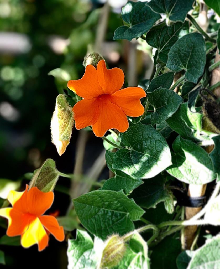 Orange Clockvine by loweygrace