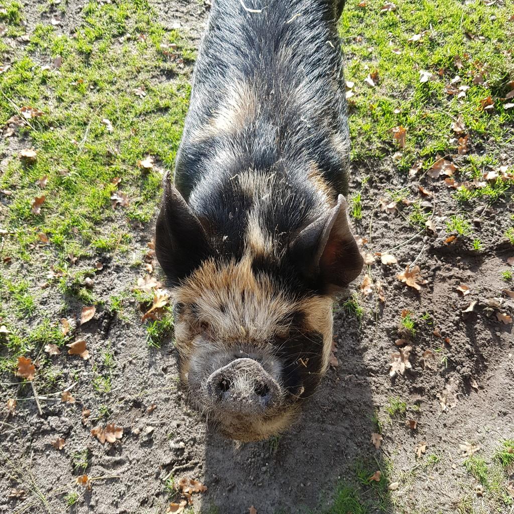 Nice piggy. by beefy2