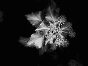 8th Nov 2020 - Ivy in Full Bloom
