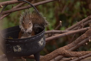 8th Nov 2020 - Squirrel........