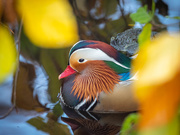 8th Nov 2020 - Mr. Duck