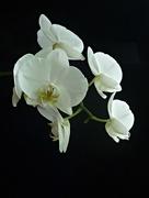 8th Nov 2020 - Orchid