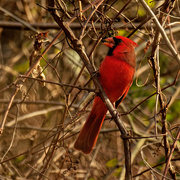 8th Nov 2020 - northern cardinal