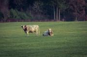 6th Nov 2020 - Margo, we have cows too