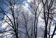 8th Nov 2020 - Stark contrast leafless tree