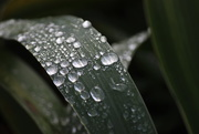 27th Oct 2020 - Wet Iris Leaves