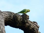 8th Nov 2020 - A Parakeet