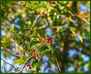 8th Nov 2020 - Mistletoe