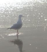 9th Nov 2020 - Seagull Coolum Beach series