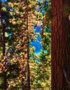 8th Nov 2020 - To Plant a Pine