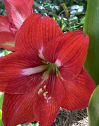 5th Nov 2020 - Red Hippeastrum Lily
