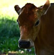 7th Nov 2020 - cow's portrait
