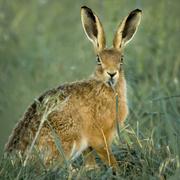 9th Nov 2020 - Grass smoking Hare