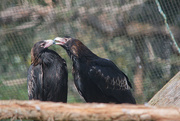 8th Nov 2020 - Wedge-Tailed Eagles
