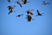 9th Nov 2020 - A Bunch Of Geese.