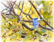7th Nov 2020 - Fall Day Bluejay